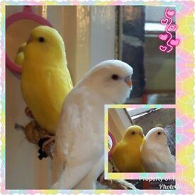 Gorgeous budgies albino and lutino
