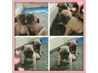QUALITY SABLE FAWN FRENCH BULLDOGD CHOCOLATE CARRIES!!!