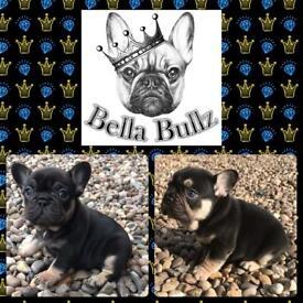 Gorgeous Quad French Bulldog Puppies