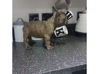 KC Blue French Bulldog Girl Ready Now!!!
