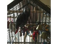 Male African grey for sale
