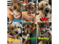 Six Male Yorkshire Terrier X Chihuahua Puppies For Sale