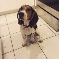 11 month old beautiful Beagle Rehome!