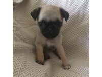 5 Female Pug Puppies For Sale