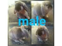 Male mini lop