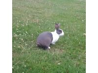 Male Grey and White Dutch Rabbit
