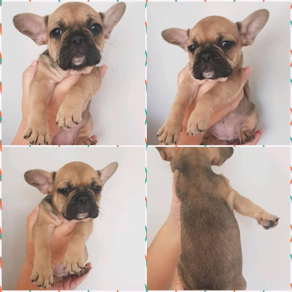7 gorgeous French bulldog kc reg