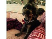 Ten month old pedigree Yorkshire terrier