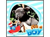 french bulldog males blue and chocalate