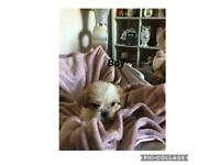 3/4 shitzu cross terrier puppies for sale