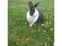 Black and White Male Rabbit - Dutch Breed
