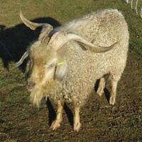 Angora billy goat for sale