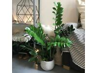 Big zamioculcas raven ZZ houseplant plant with cement pot