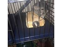 Chinchilla with new cage etc