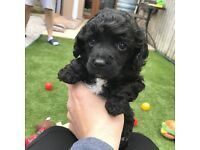 Beautiful Toy Poodle Pups for sale