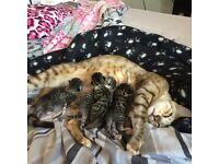 6 Bengal kittens for sale