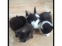 litle kittens for sale cheap