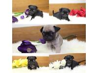 REDUCED TO £750!!! KC Pug Puppies! Black & silver platinum! Ready to go NOW 😍♥️