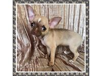 Ready now KC reg Chocolate and champagne chihuahua girl puppy