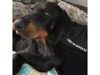 12 week old pedigree Dobermann puppy