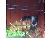 3 Guinea pigs + Hutch :)