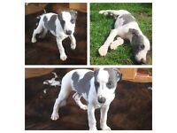 1 blue and white whippet boy left for sale