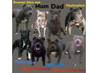Champion bloodline amazing pedigree blue staff puppys