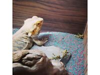 4yo Orange Bearded Dragon (beardy reptile) - Looking for a good home