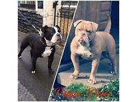 Olde Tyme bulldog pups