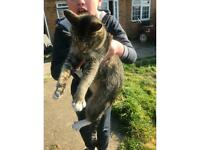 Fully Grown highly loved TABBY cat for sale