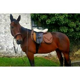 Beautiful 16hh Bay Gelding For Loving Home