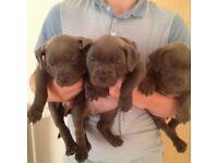 3 blue female staffie puppies
