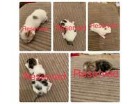 5 x male kittens ALL RESERVED
