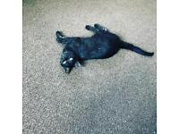 2yr Old Black/Grey Male Cat & 1yr Old Tabby Female Cat