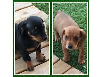 Outstanding litter of KC Reg and PRA Clear miniature dachshunds carrying lilac!!