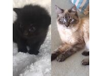 Ragdoll cat and cross kitten