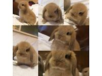 4 adorable baby dwarf lop rabbits