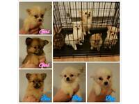 Pomeranian cross Chihuahua puppies for sale