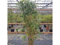 BAMBOO. 25ft tall plus !! huge. taking out this weekend