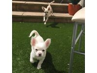 Please help, 2 missing chihuahuas