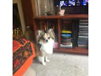 Pedigree long haired chihuahua bargain