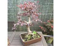 Large old bonsai Loropetalum Chinese fringe tree