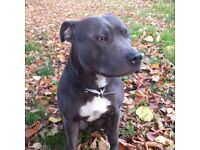 Staffordshire Bull Terrier puppies available, carrying blue genes.