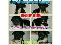 Collie x Alsatian puppies can deliver for fuel charge