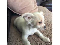 Chihuahua cream puppy