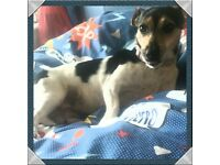 beautiful jack Russell for sale