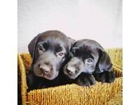 Labrador puppie