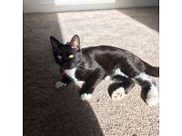 MISSING - 10 month old black & white kitten - Mytholmroyd, Hebden Bridge