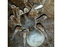 Therophosa stirmi. Biggest tarantula