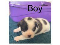 Shih tzu cross pomeranains puppies